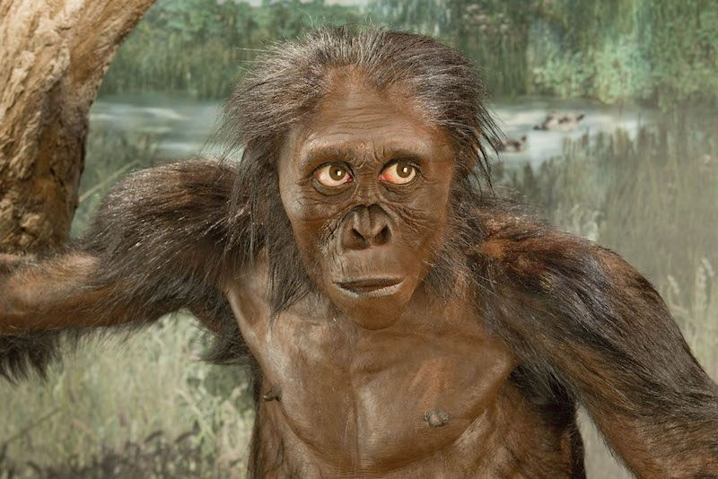 A front view of Lucy, based on a reconstruction by paleoartist John Gurche. Image credit: Smithsonian Institution Human Origins Initiative. https://humanorigins.si.edu/australopithecus-afarensis-lucy-adult-female-reconstruction-base-al-288-1-artist-john-gurche-front