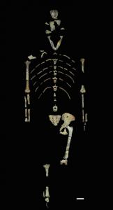 The fossil bones that make up Lucy's skeleton. Image credit: John Kappelman/University of Texas at Austin.