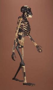 "Reconstructed skeleton of Australopithecus afarensis, ""Lucy."" Image credit: Smithsonian Institution Human Origins Initiative. https://humanorigins.si.edu/evidence/human-fossils/fossils/al-288-1"