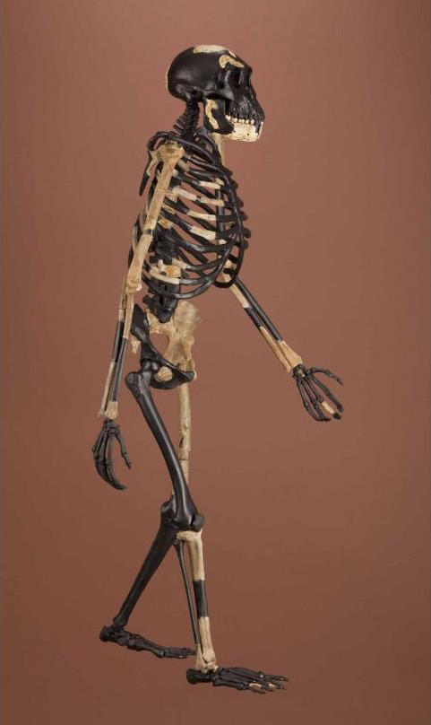 Reconstructed skeleton of Australopithecus afarensis,
