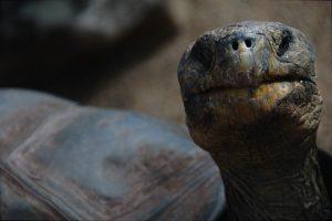 bahamian-tortoise