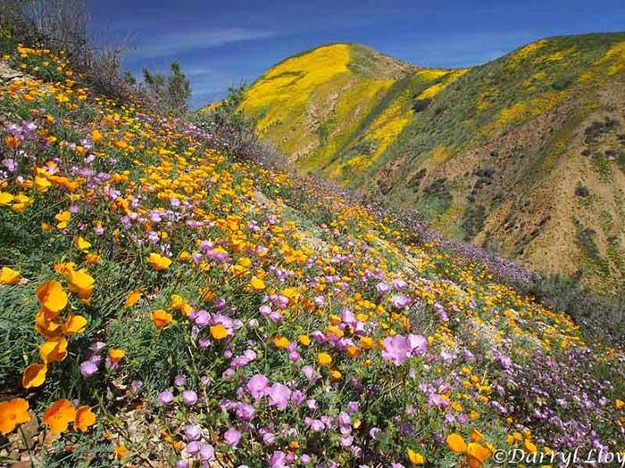 2017 california desert superbloom earth earthsky temblor rangemarch 29 2017 flowers are desert candle hillside daisy tansy phacilia san juaquin blazing star photo via desertusa mightylinksfo