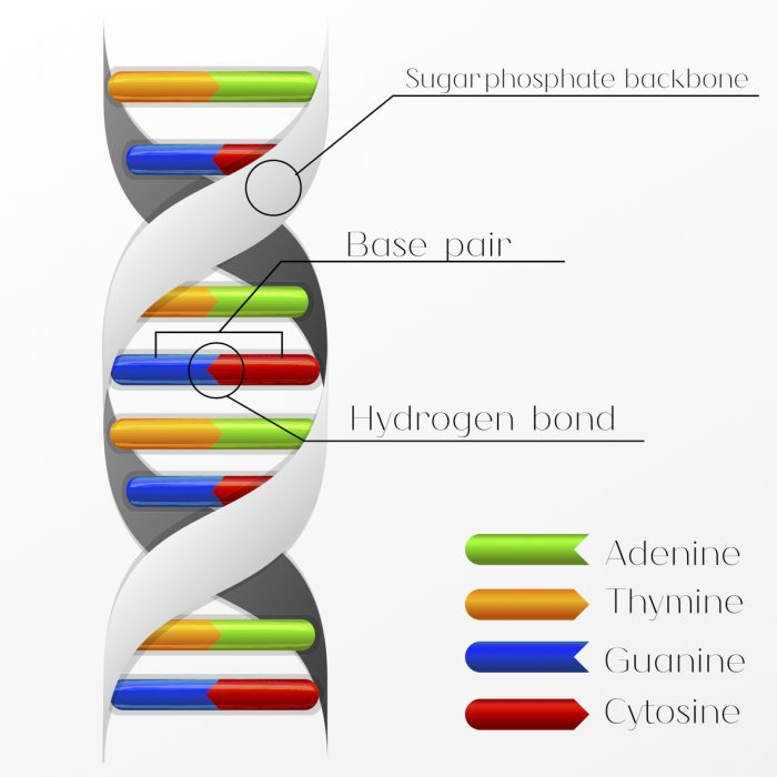 how to build a dna molecule