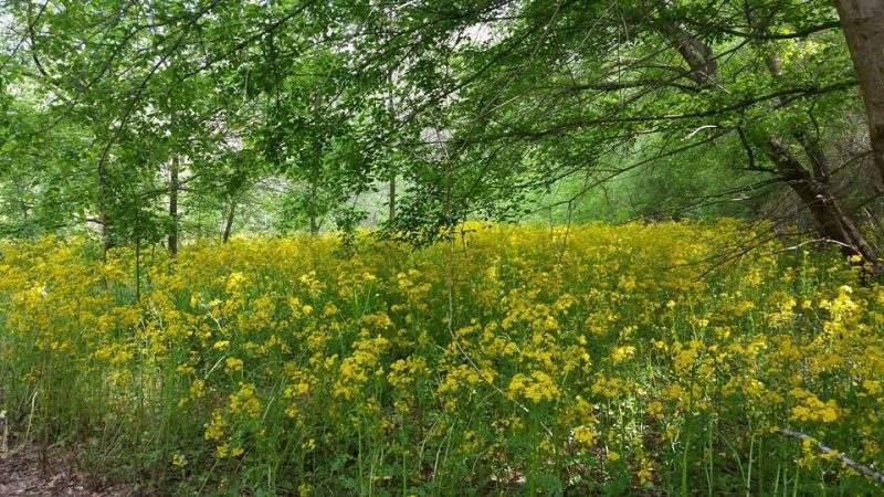 Blanket of yellow flowers under spring tree foliage.