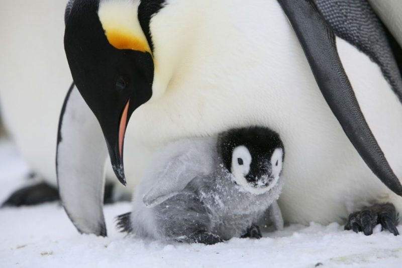 Penguin chick hatching - photo#53