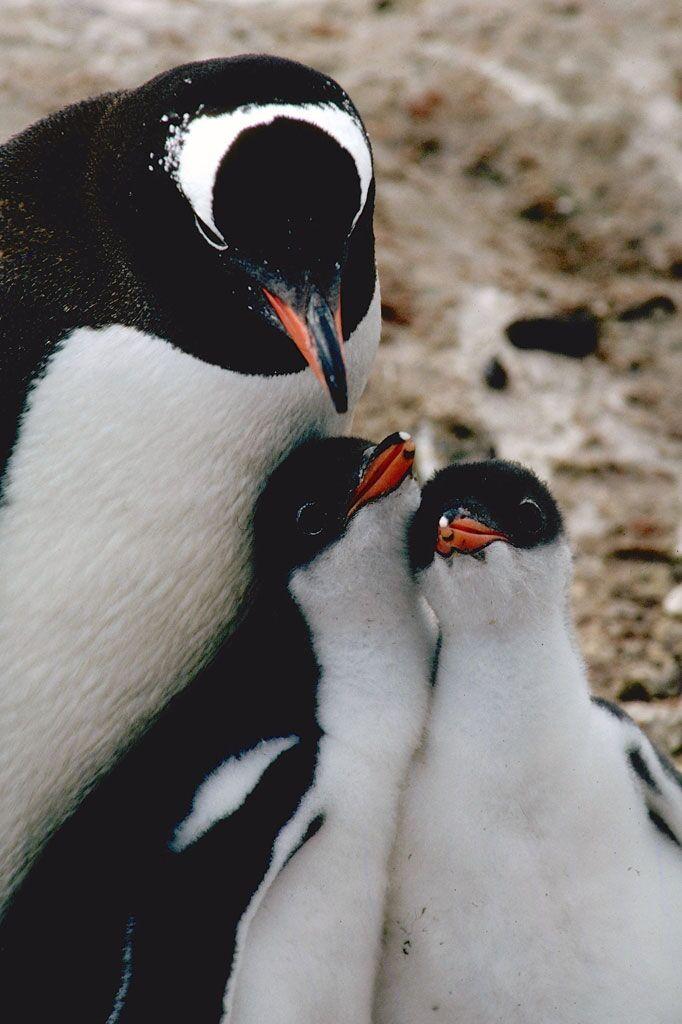 Happy World Penguin Day Earth Earthsky