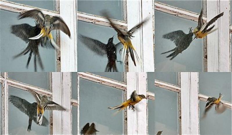 Why birds smash into windows   Earth   EarthSky Cardinal Flying Into Window