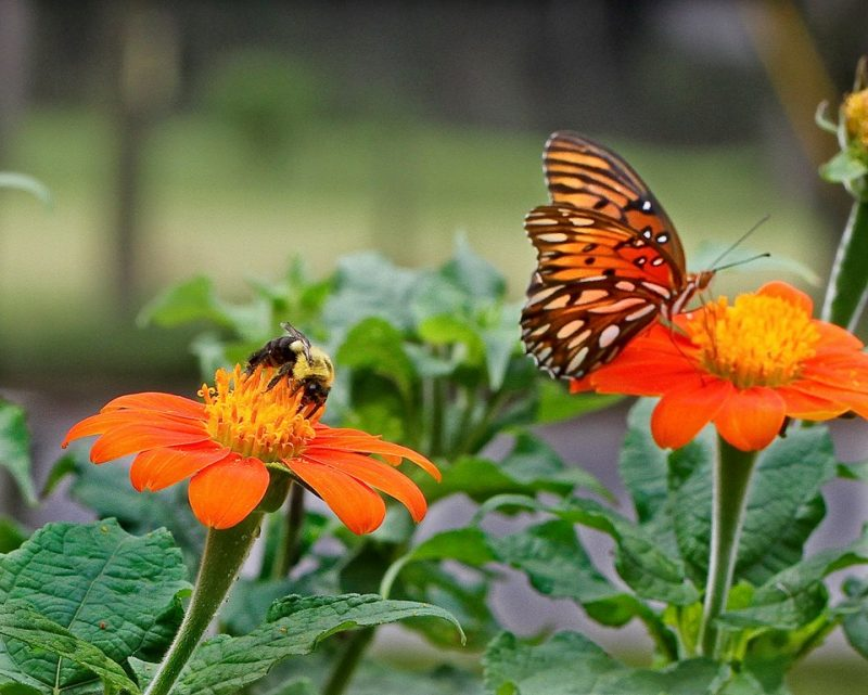 Bee and orange-and-black butterfly on two small red-orange sunflowers.