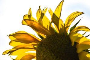Close up of a sunflower.