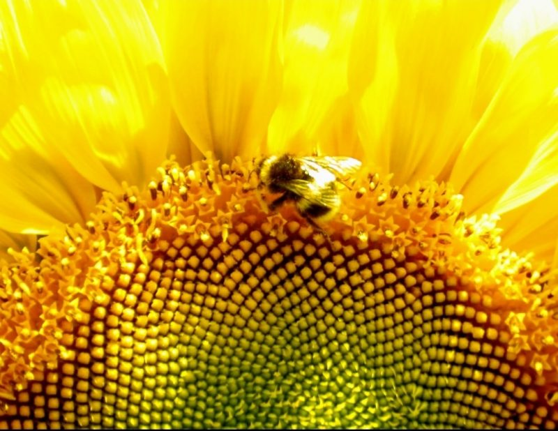Closeup of a sunflower center with a bee on the edge of the center.