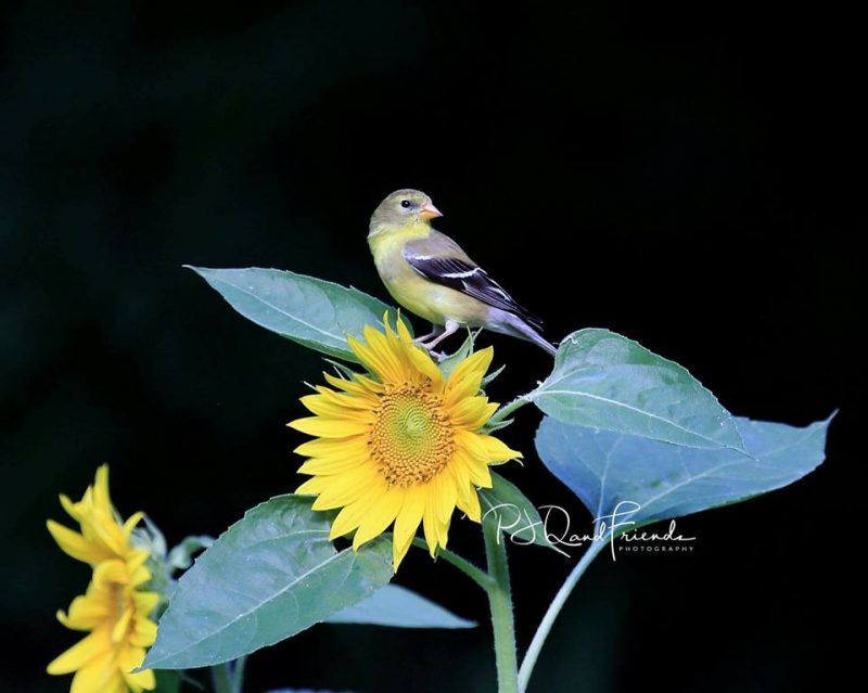 Small black and yellow bird perched on top of sunflower plant with flowers.