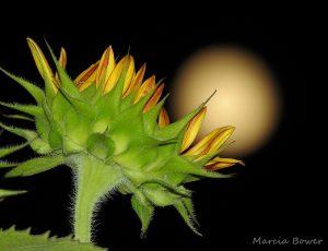 Sunflower, night sky, blurry yellow moon.