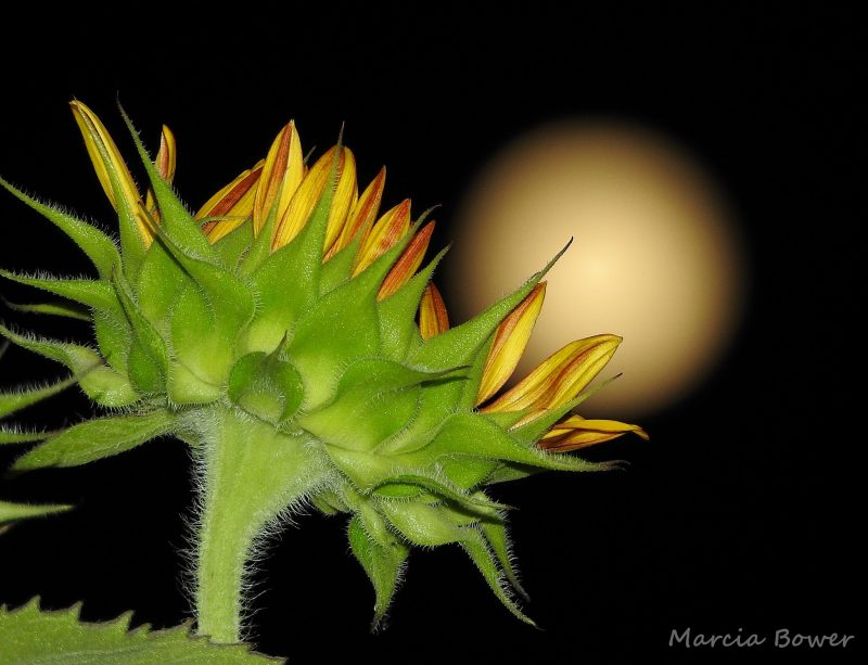 Sunflower from below, night sky, blurry yellow moon.