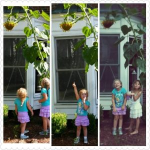 Three panels of two little girls looking up at a tall sunflower.
