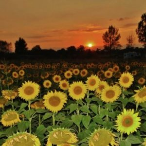 Confused Sunflowers During Eclipse Today S Image Earthsky
