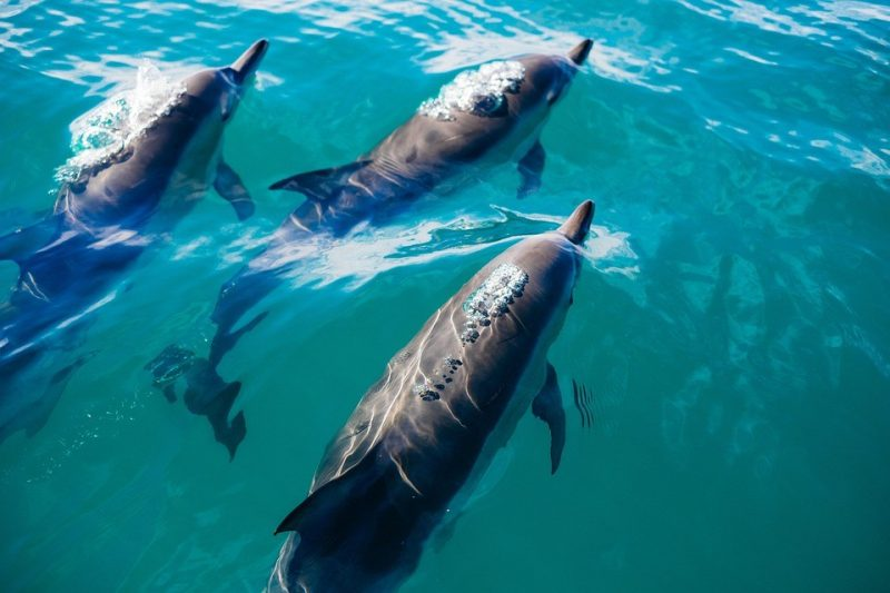 Whales and dolphins live 'human-like' lives Dolphins-e1508278960313