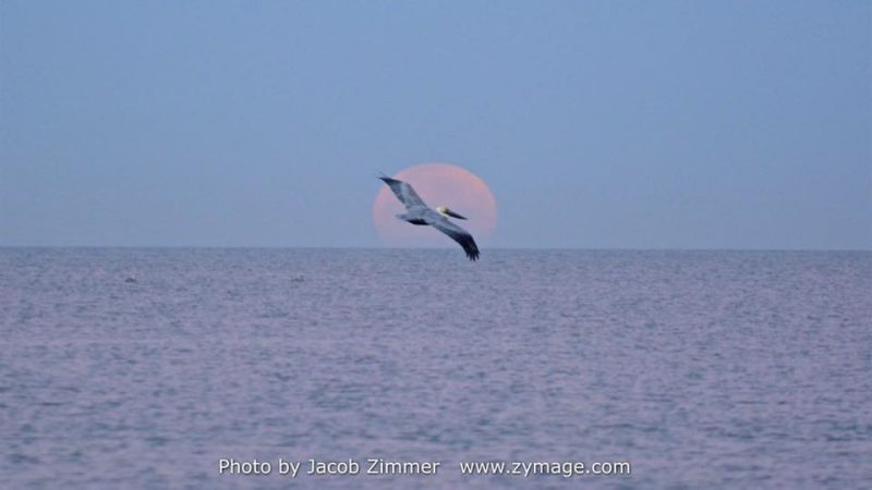 A pelican in flight exactly sihouetted in front of a large pink moon rising over the twilit sea.