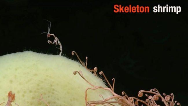 Skinny skeletal-looking white shrimp.