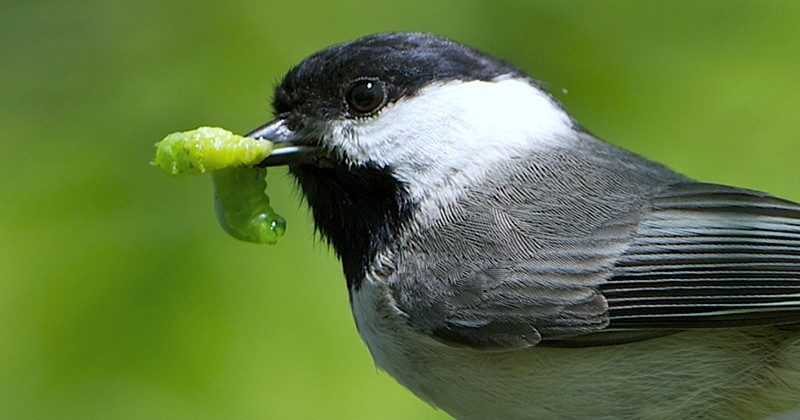 A Carolina chickadee with a juicy caterpillar. Photo courtesy of Desiree Narango and Doug Tallamy.