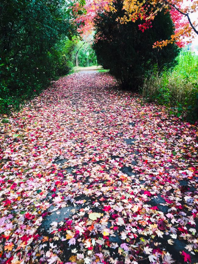 View down a wide path covered in multicolored, mostly red leaves.