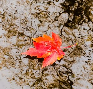 A gorgeous red and orange five-pointed maple leaf on water.
