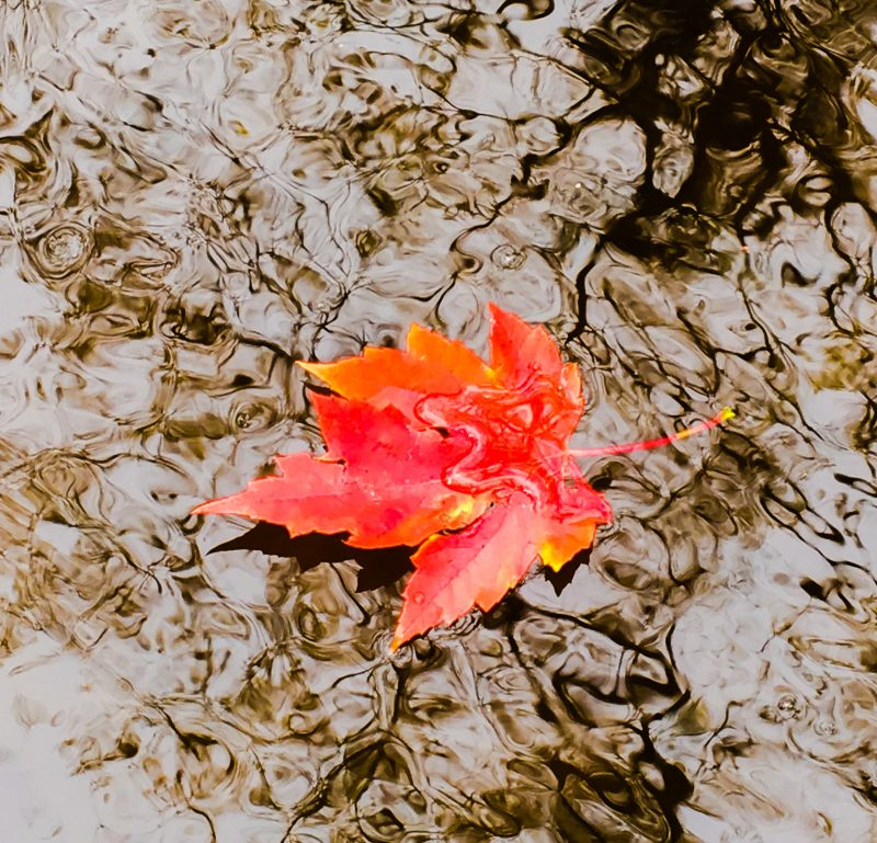 Trees shed their leaves: A gorgeous red and orange five-pointed maple leaf on water.