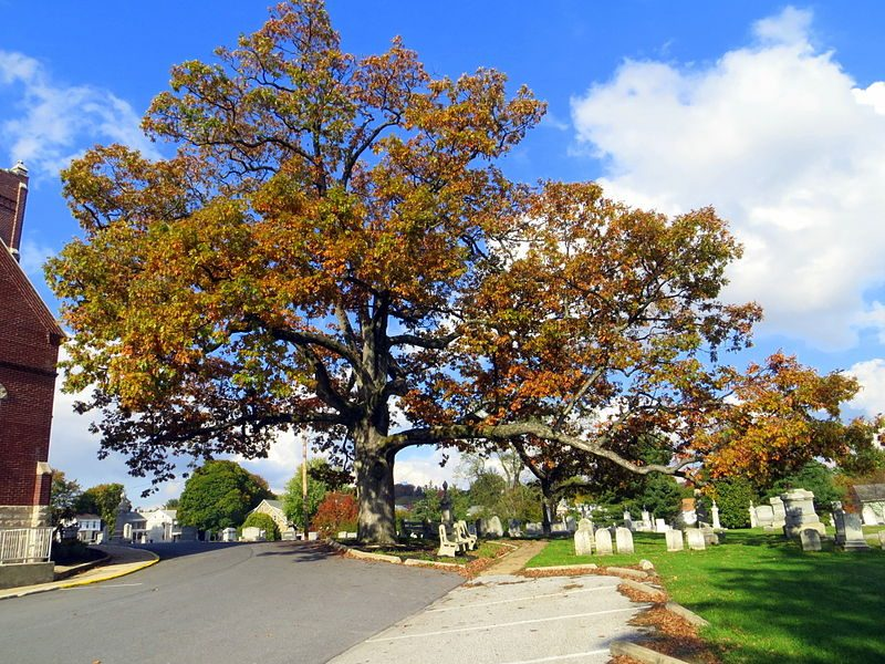 A White Oak Tree in Manchester, Maryland. Image courtesy Mopenstein via Wikimedia Commons.