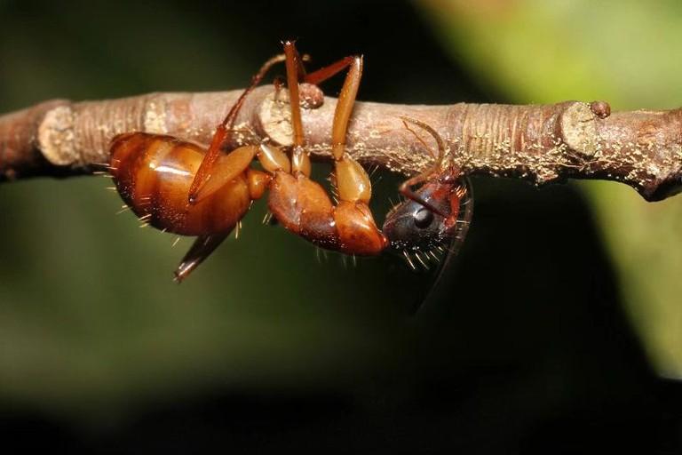 Zombie Ant Parasite