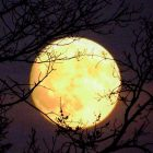 A round, bright, full moon shining behind bare trees.