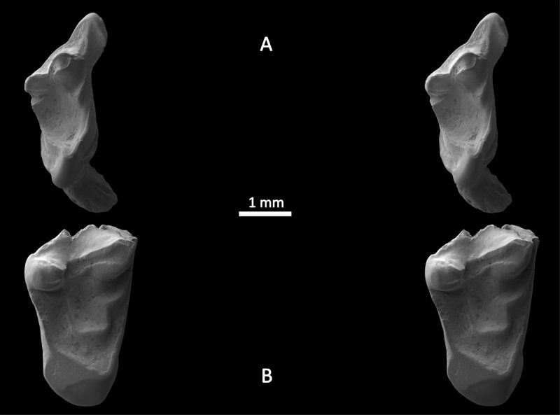 Stereo scanning electron micrographs of the fossil teeth. Image courtesy of University of Portsmouth.