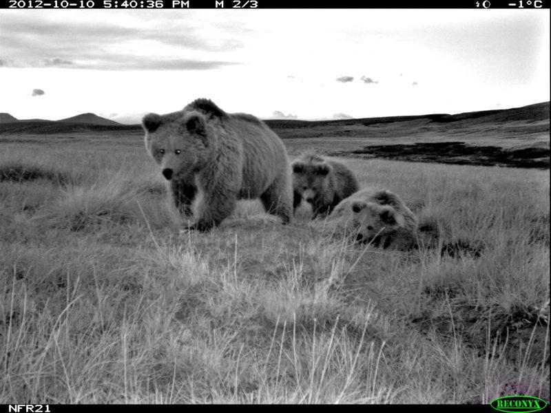 Yetis? Nope. DNA study says bears | Earth | EarthSky Himalayan Brown Bear Yeti