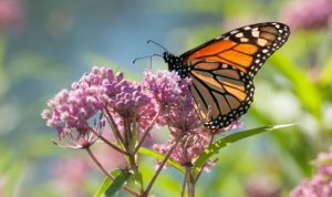 Monarch butterfly on a milkweed flower. Image courtesy of Ryan Norris, University of Guelph.