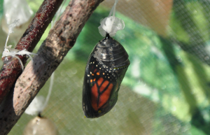 Monarch butterfly just hours from emerging from its chrysalis. Image by Shireen Gonzaga.