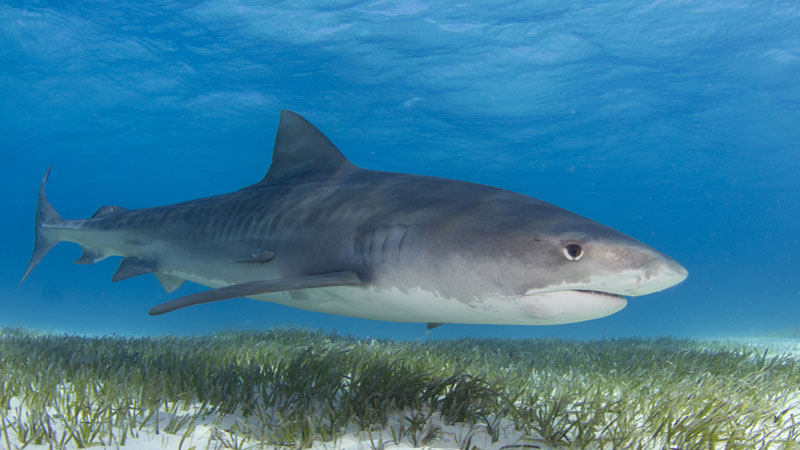 How tiger sharks are helping seagrass