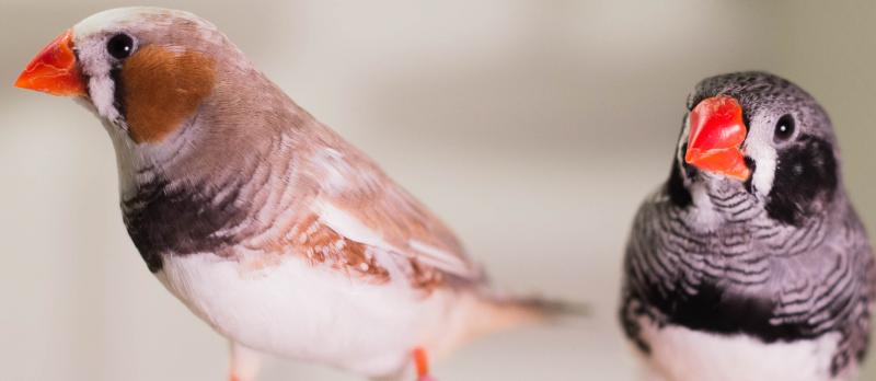 Do songbirds share 'universal grammar'?