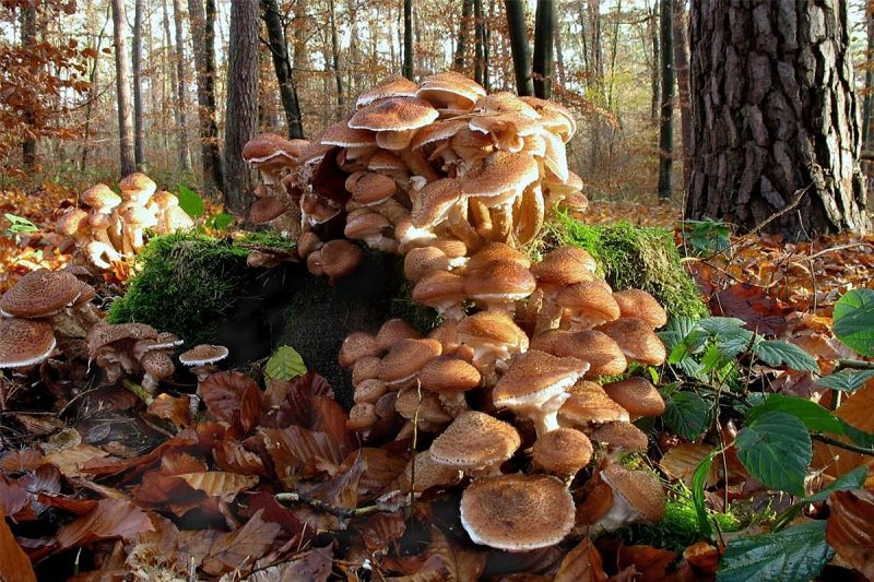 Image result for largest fungus ever