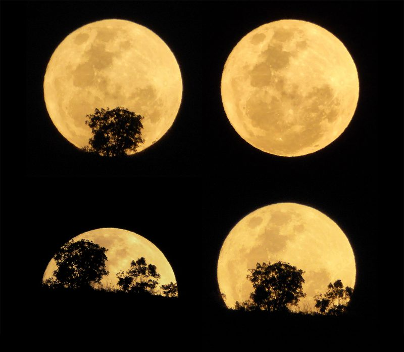 Four shots of a full, round, golden moon ascending above horizon with silhouetted trees.