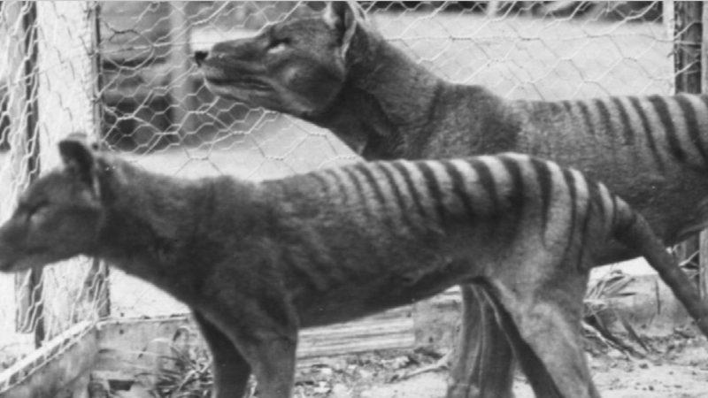 Genetic research reveals secrets of extinct Tasmanian tigers