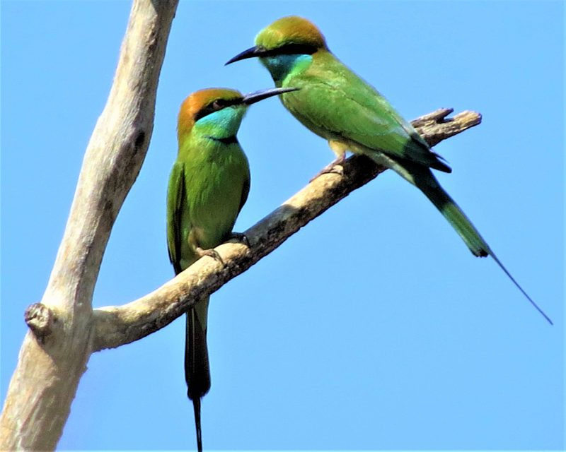 2 green birds with black beaks and orange heads perched on a leafless branch.