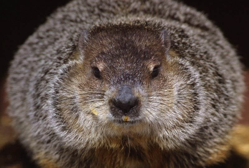 Closeup of furry, round groundhog's face with black nose and small eyes.