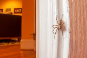A large brown spider with big black eyes crawling down a door frame.