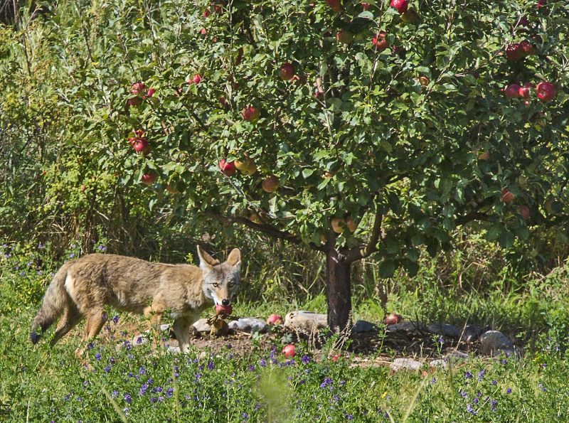 Coyote with apple in mouth