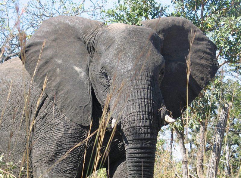 The unique elephant brain