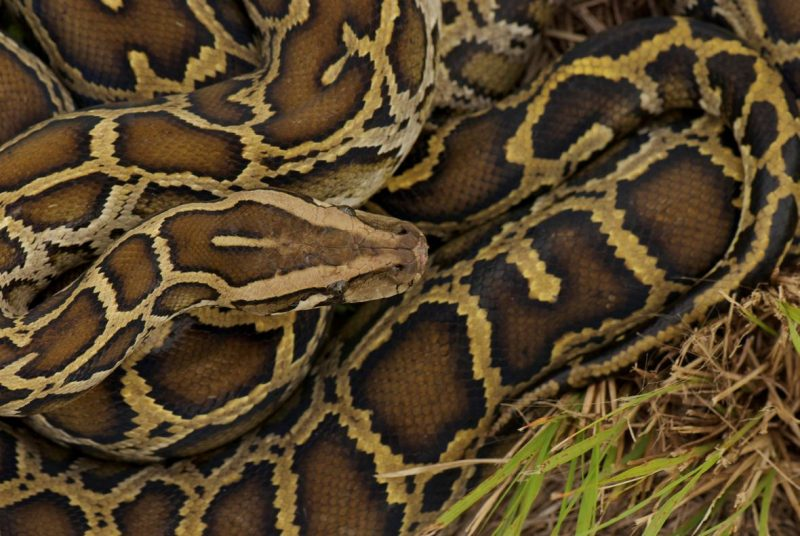 Pythons In Florida Map.Hybrid Super Snakes In South Florida Earth Earthsky