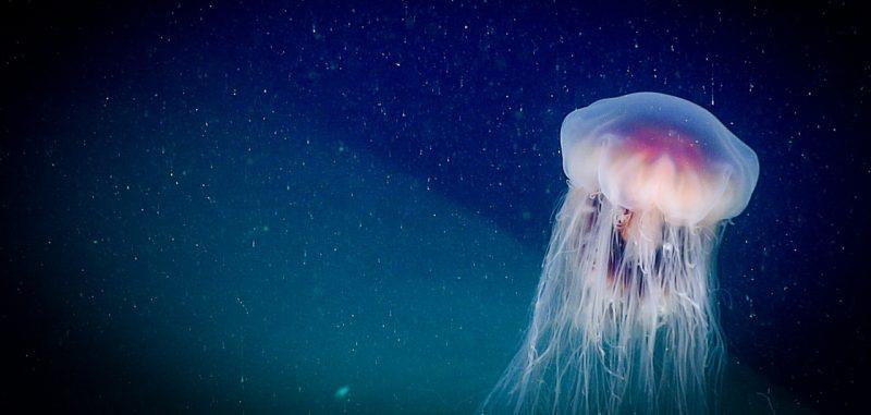 top 3 myths about jellyfish earth earthsky