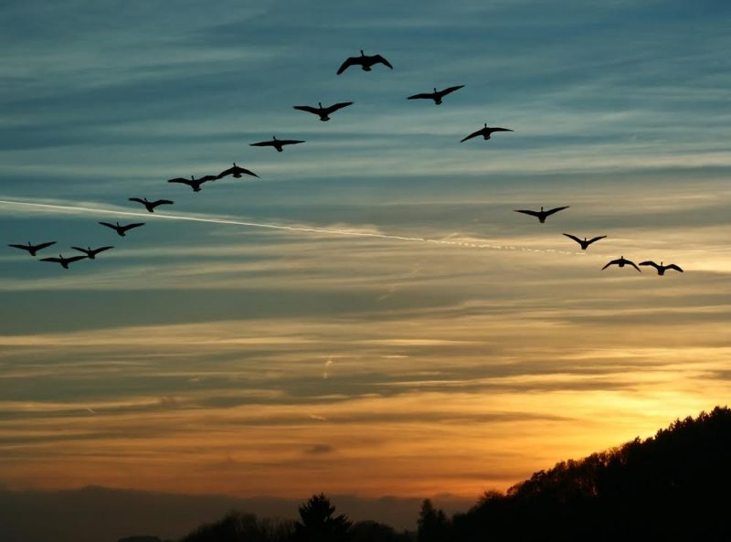 Birds flying south. How many will return?   Earth   EarthSky