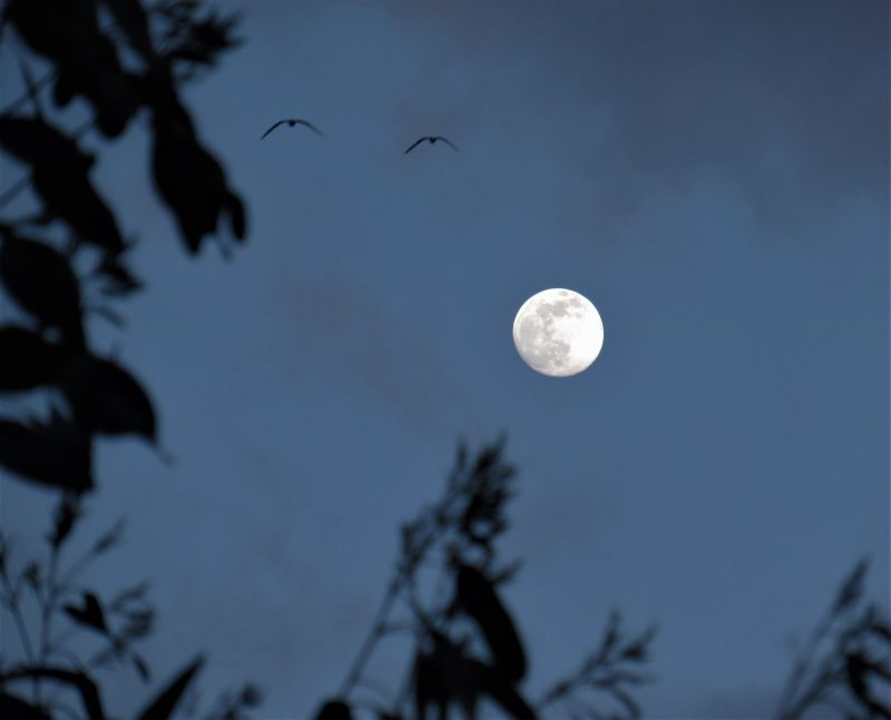 Bright not quite full moon among treetops, with 2 birds flying by.