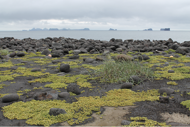 A sandy surface with more abundant green patches of plant growth. Rounded rocks are scattered on the ground and the blue sea is in the background.