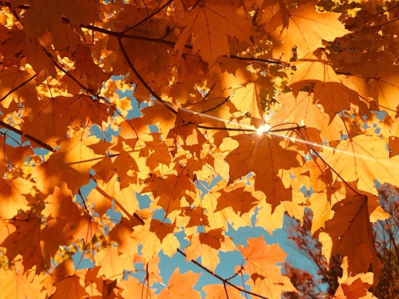 Sun glinting through many yellow maple leaves from below.
