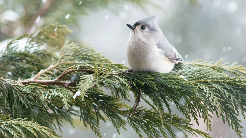 Audubon Christmas Bird Count 2019 Christmas Bird Count starts December 14 | Earth | EarthSky